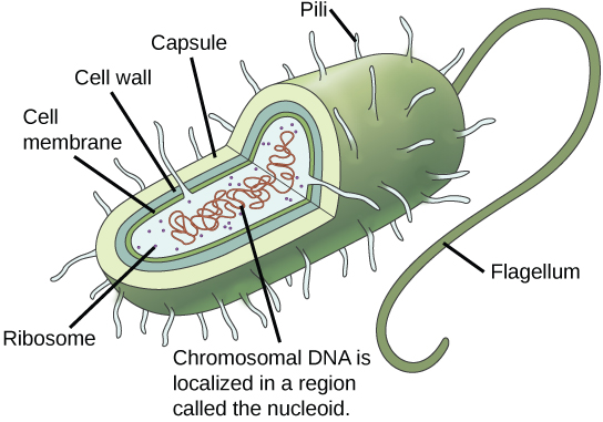 of a prokaryotic cell. The plasma membrane is surrounded by the cell ...