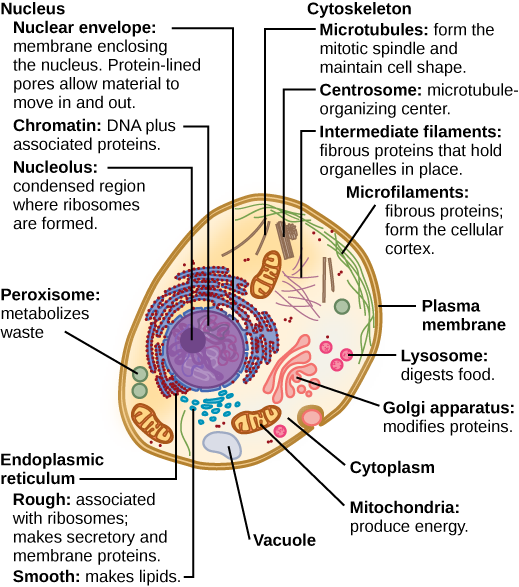 Organization of Eukaryotic Cells